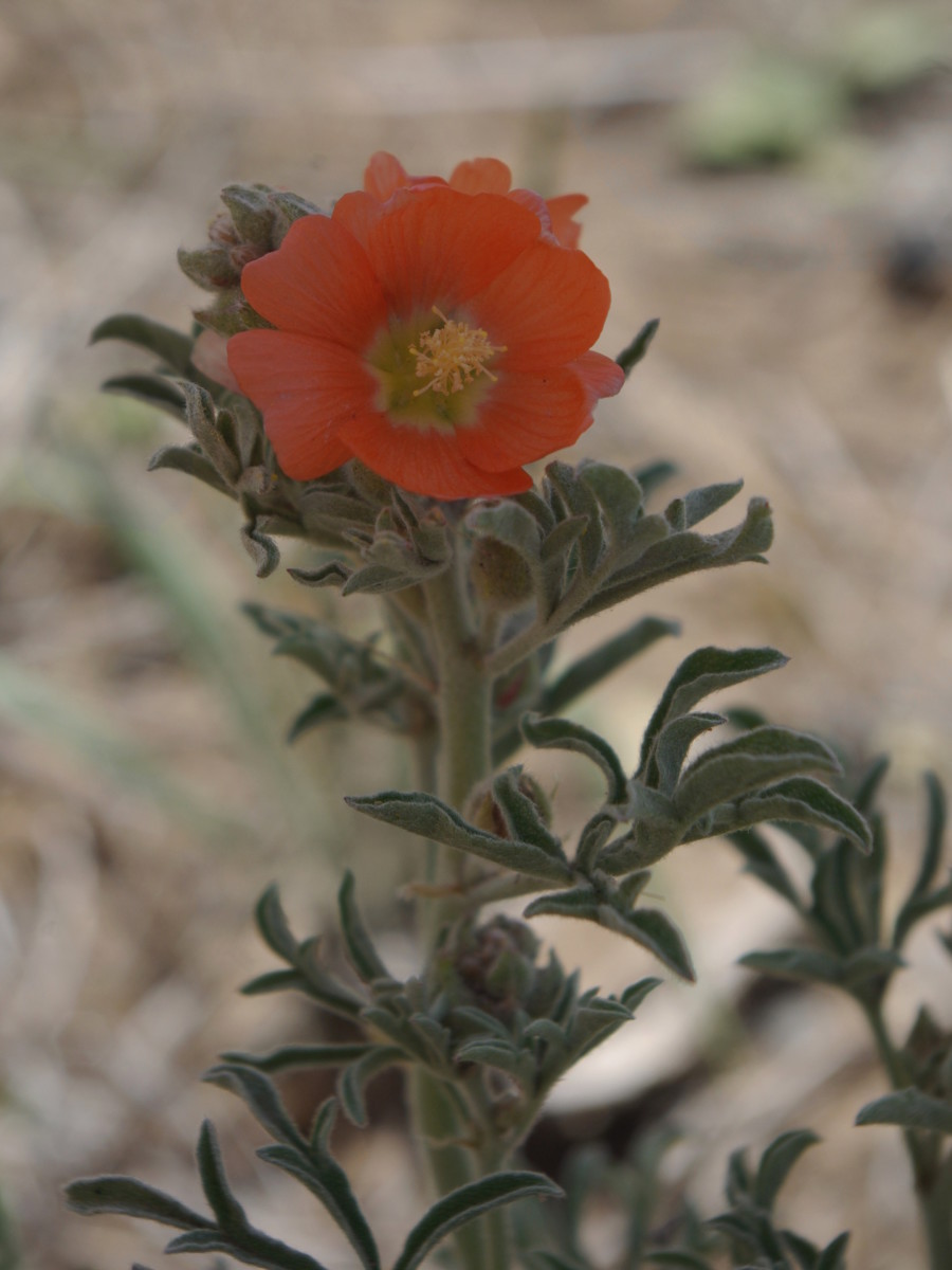 Scarlet globemallow has a similar appearance to poppies.
