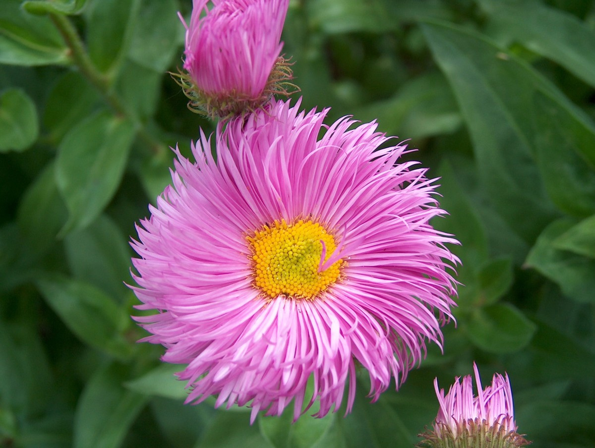 Showy fleabane is one of many other alternatives that are better than traditional garden choices.