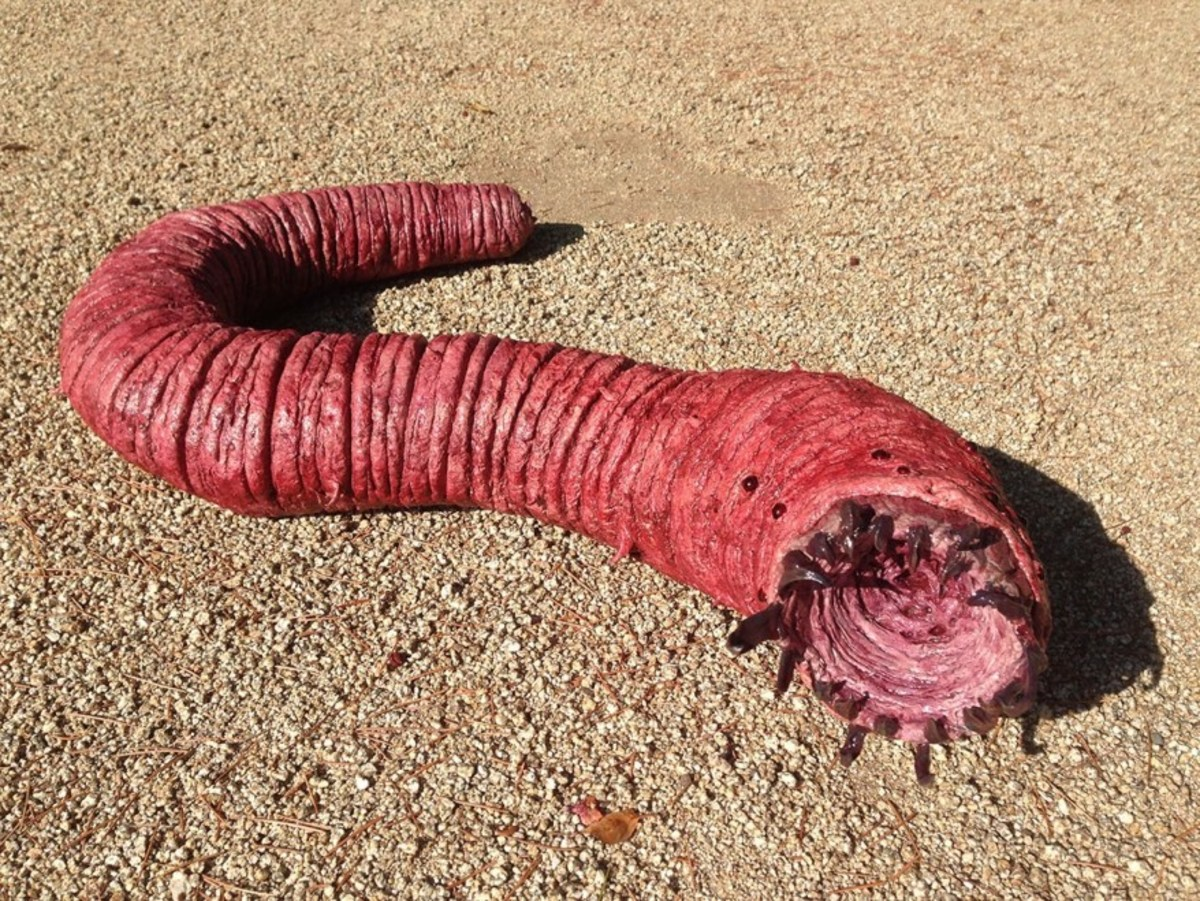 The Mongolian death worm is one of the biggest mysteries of cryptozoology to date.