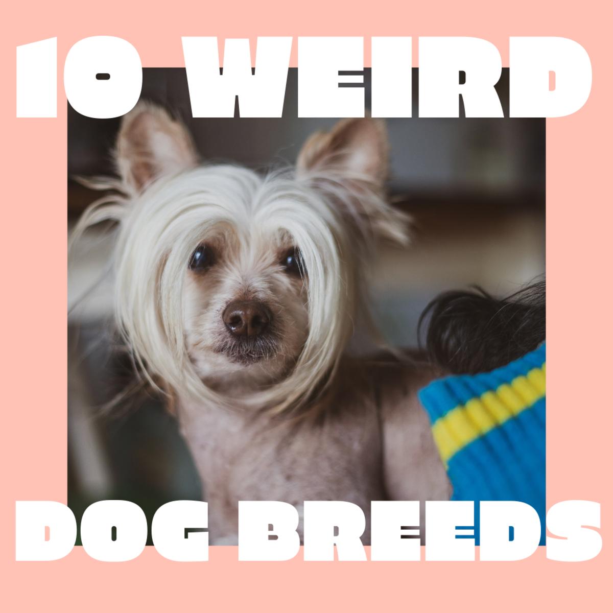 10 Weird (but Wonderful) Dog Breeds