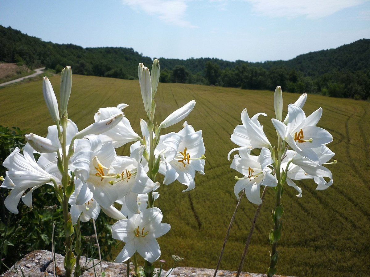 how-to-grow-madonna-lily-an-ancient-plant