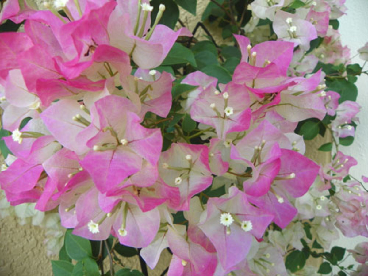 How to make a Bougainvillea Plant Bloom