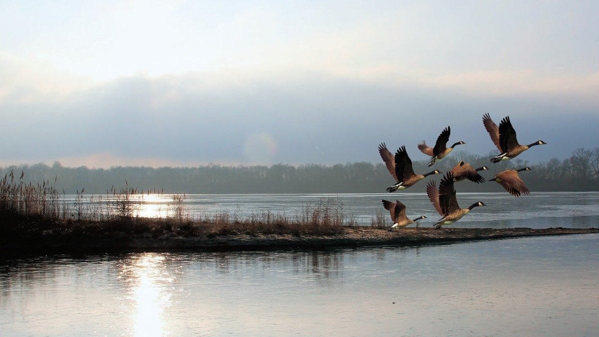 wisdom-of-geese