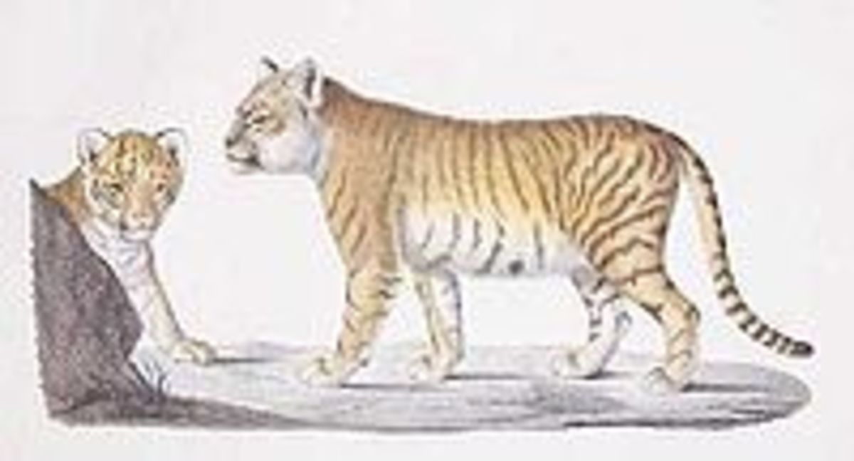 Colour plate of the offspring of a lion and tiger, Étienne Geoffroy Saint-Hilaire
