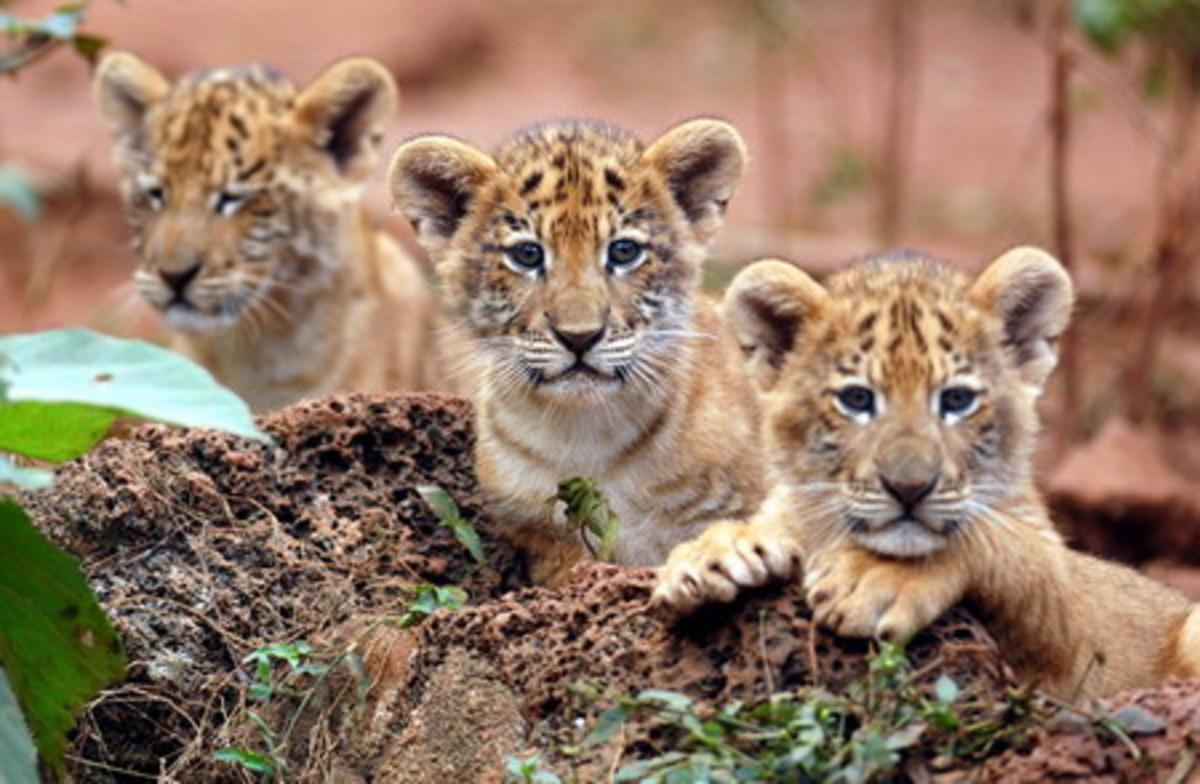 Three liger cubs.
