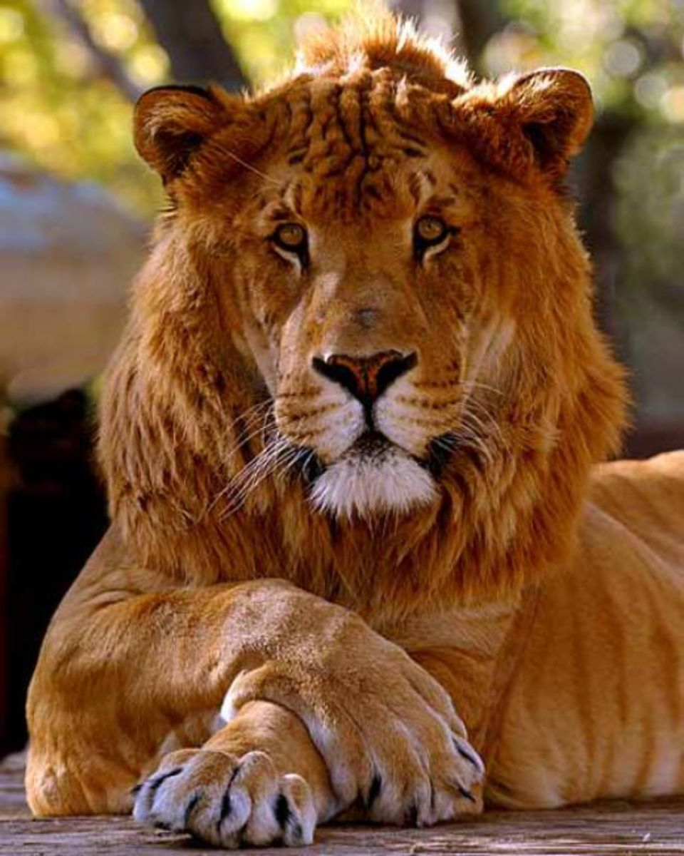 A male liger with short mane.