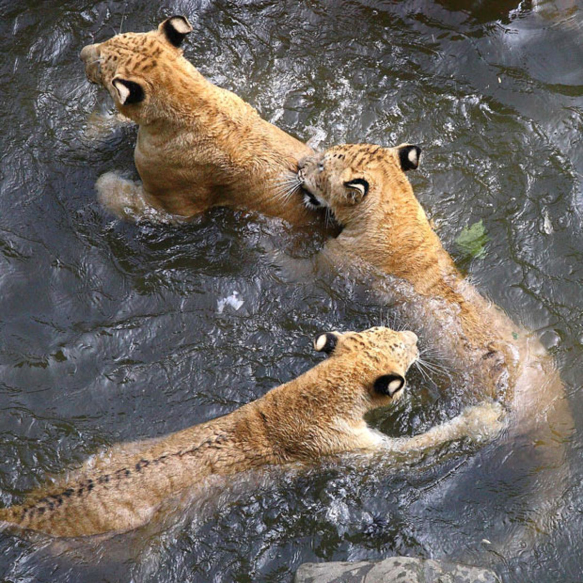 Liger cubs playing in the water.