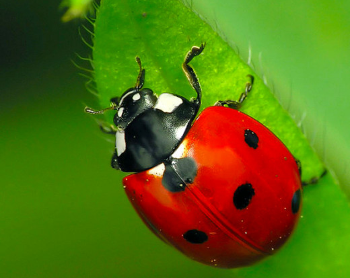 The State Insect of Massachusetts: the 7-Spotted Ladybug