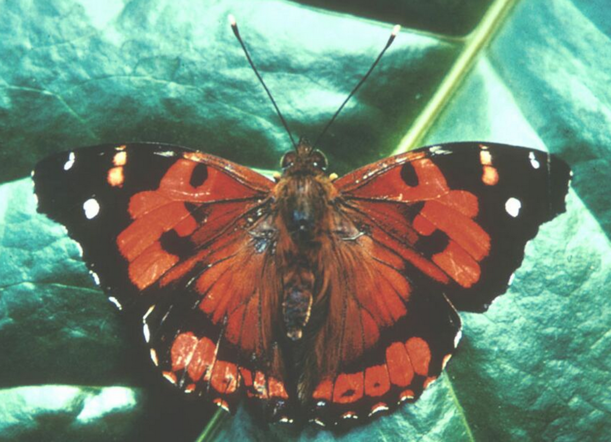 The State Insect of Hawaii: the Kamehameha Butterfly