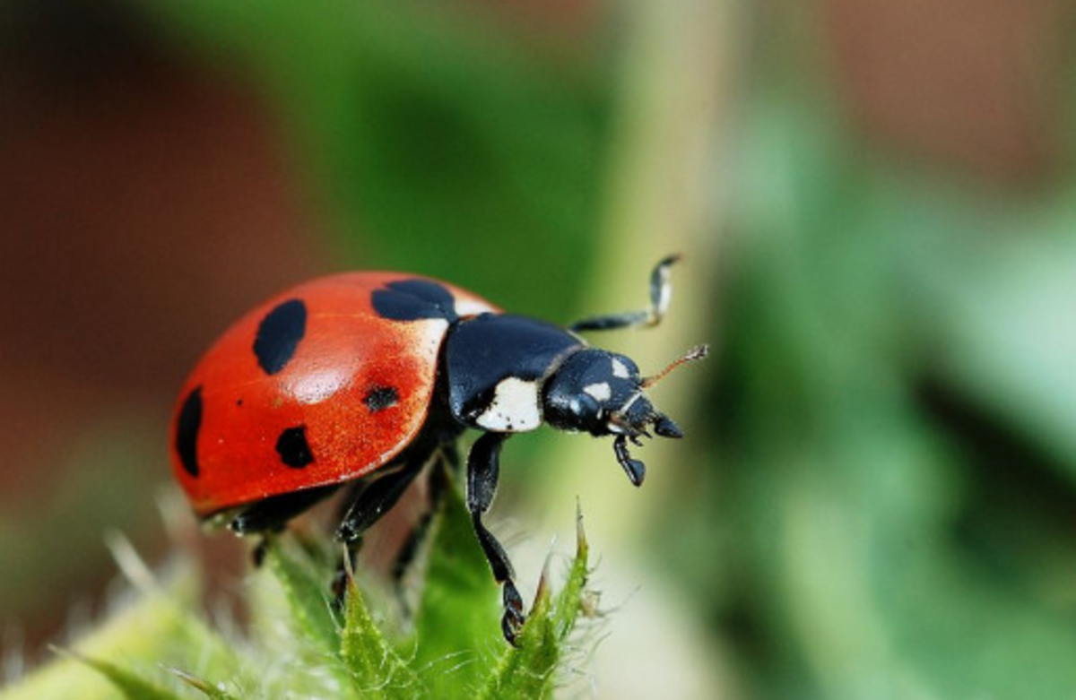 The State Insect of Tennessee: the 7-Spotted Ladybug