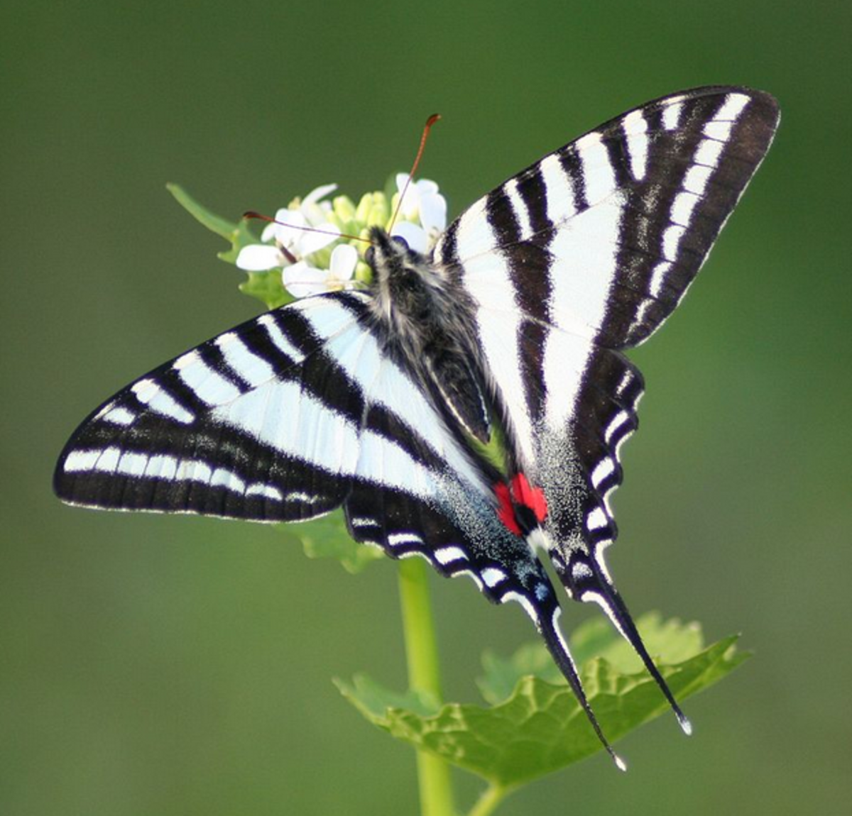 The State Butterfly of Tennessee: the Zebra Swallowtail