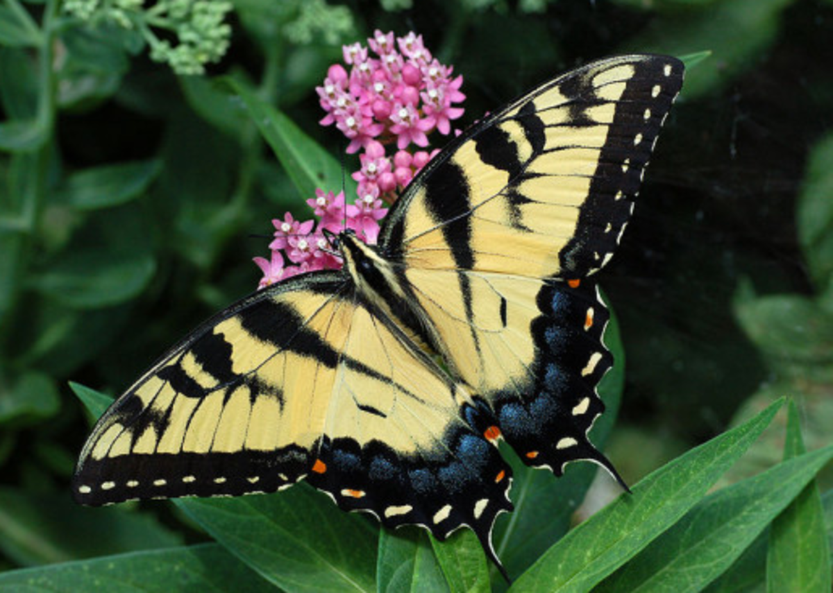 The State Insect of Virginia: The Tiger Swallowtail Butterfly
