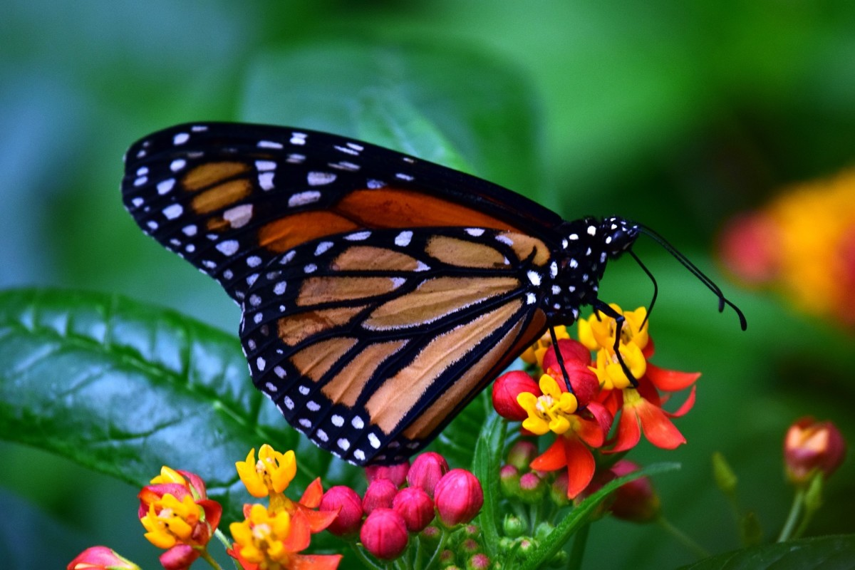 The State Insect of Idaho: the Monarch Butterfly