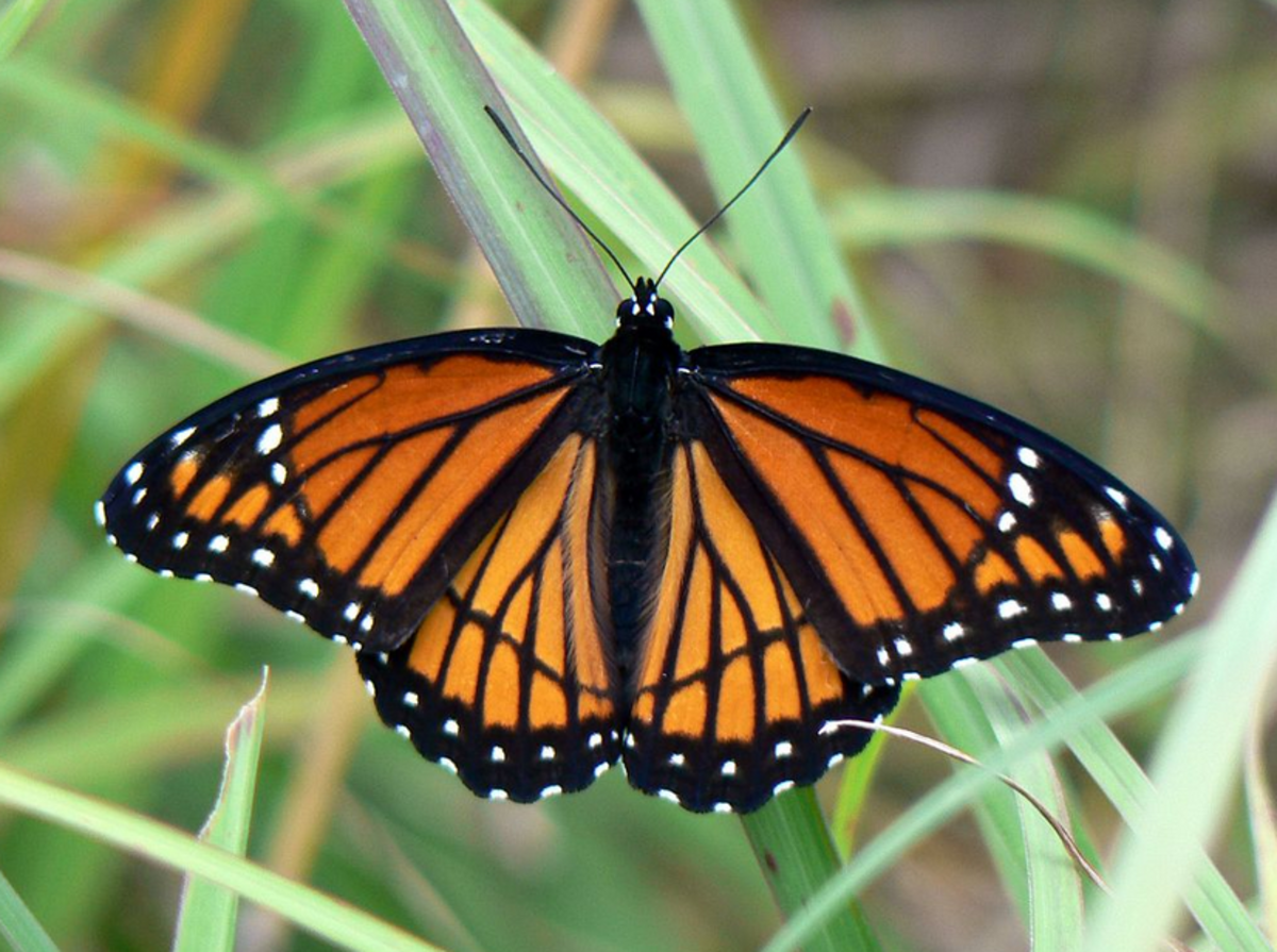 The State Insect of Kentucky: the Viceroy Butterfly