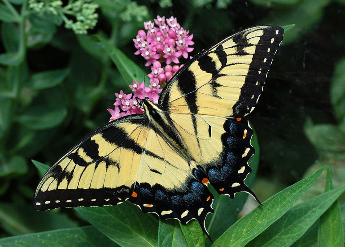 The State Insect of North Carolina: the Eastern Tiger Swallowtail Butterfly