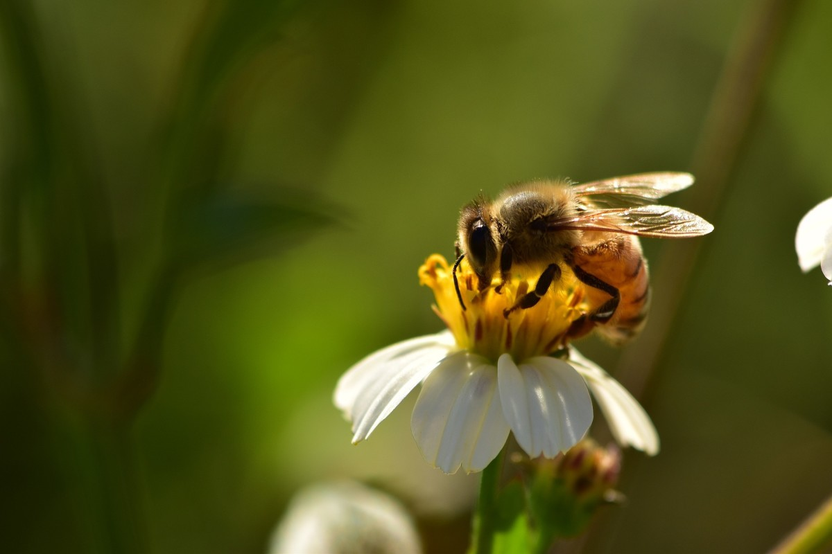 The State Insect of Missouri: the European Honey Bee