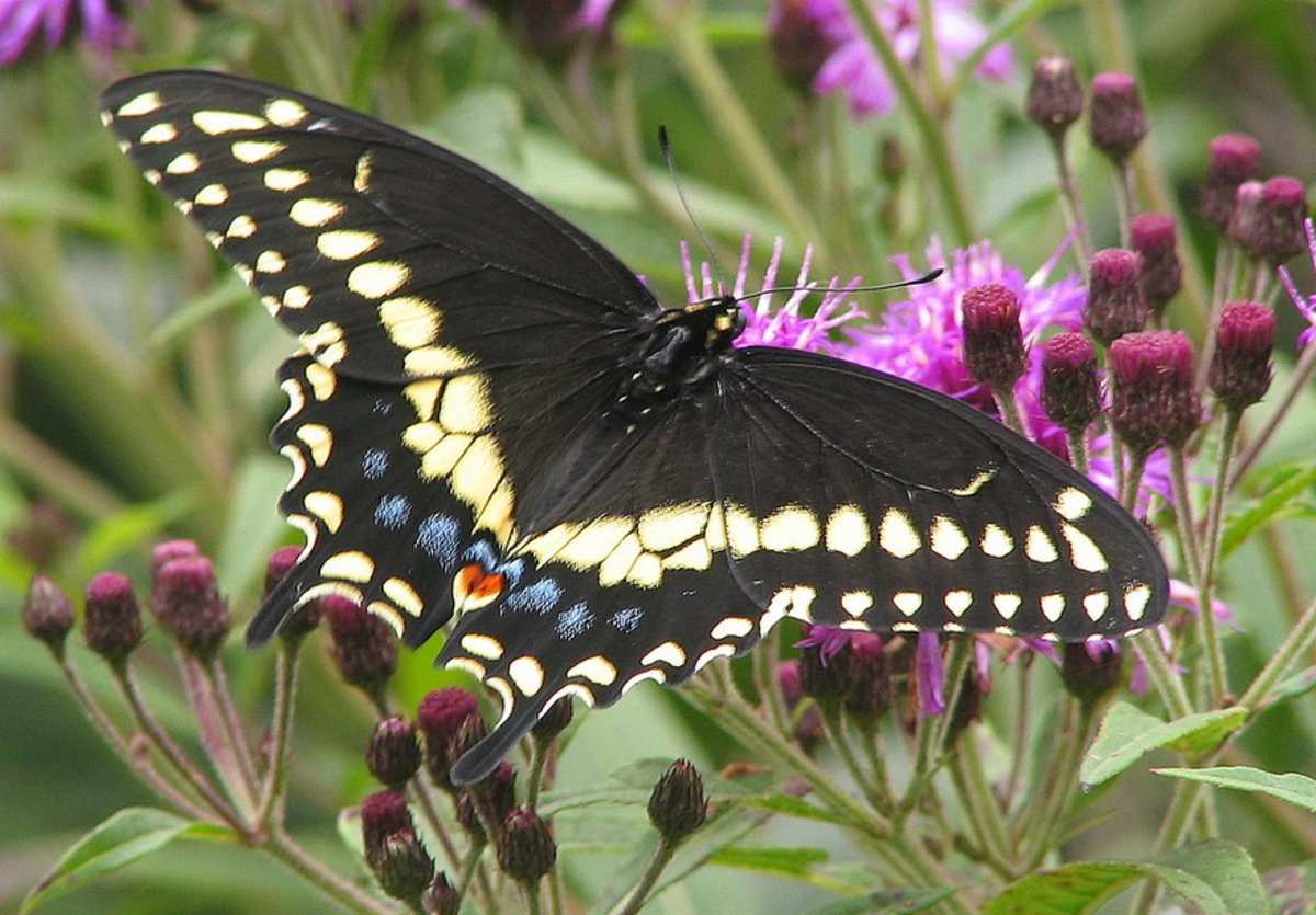 The State Butterfly of Oklahoma: the Black Swallowtail