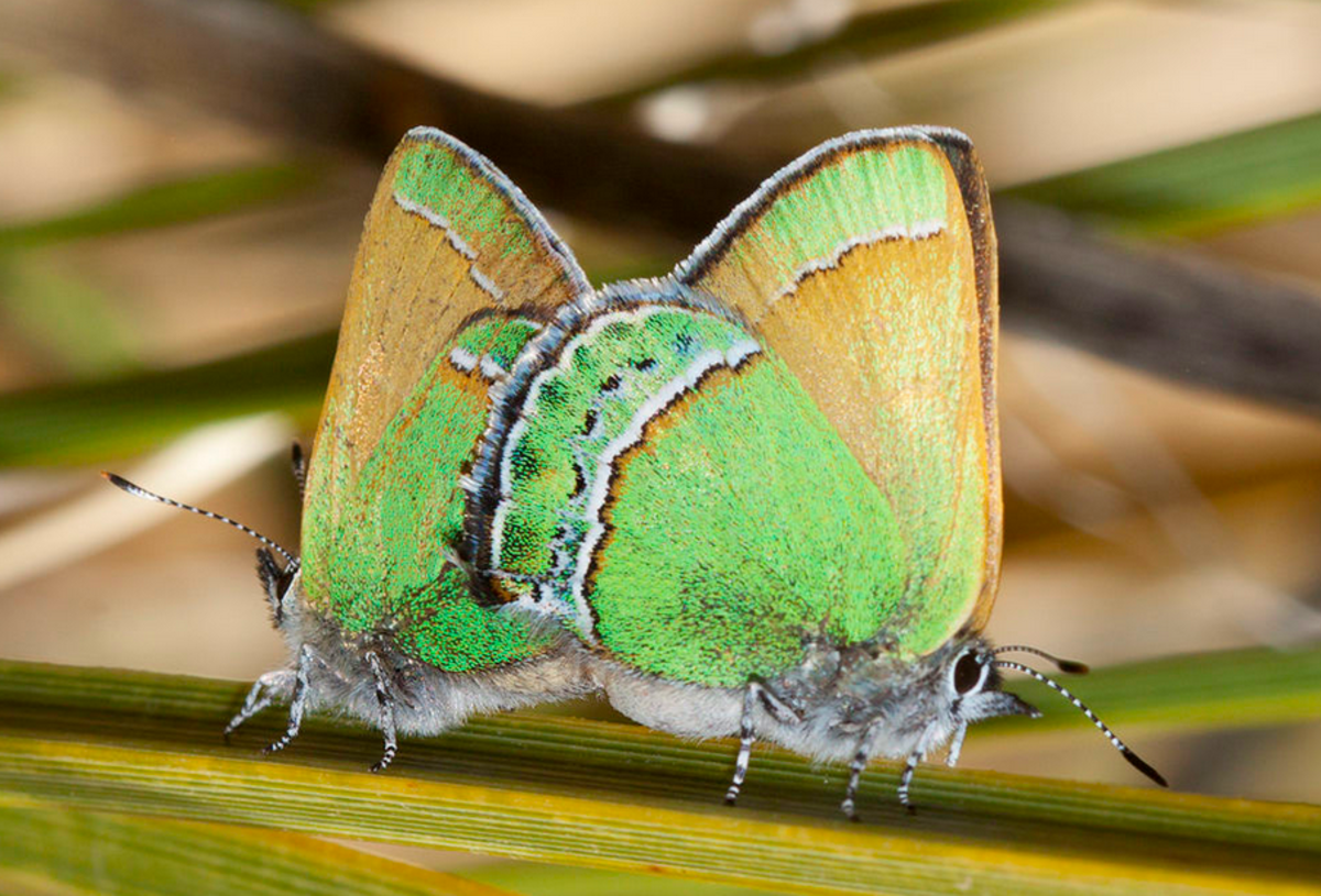 The State Butterfly of New Mexico: the Sandia Hairstreak