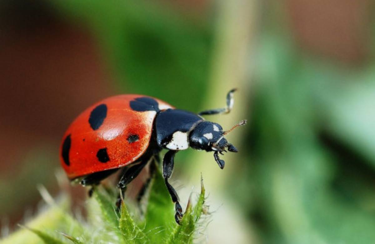 The State Insect of Ohio: the 7-Spotted Ladybug