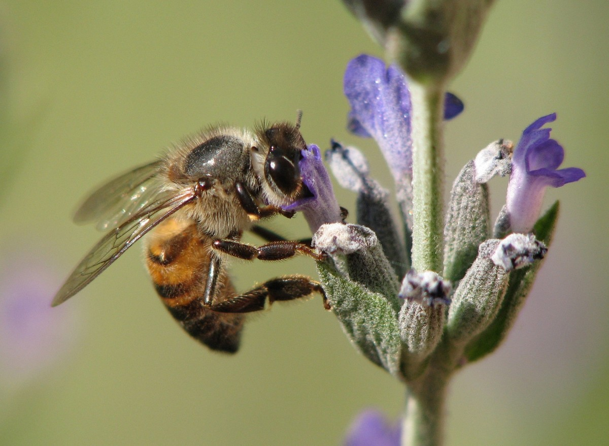 The State Insect of Wisconsin: The European Honey Bee