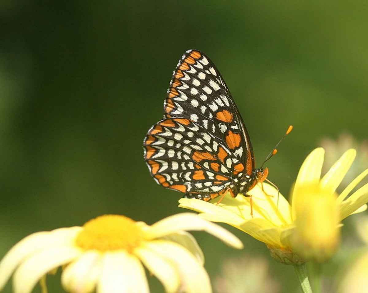 The State Insect of Maryland: the Baltimore Checkerspot