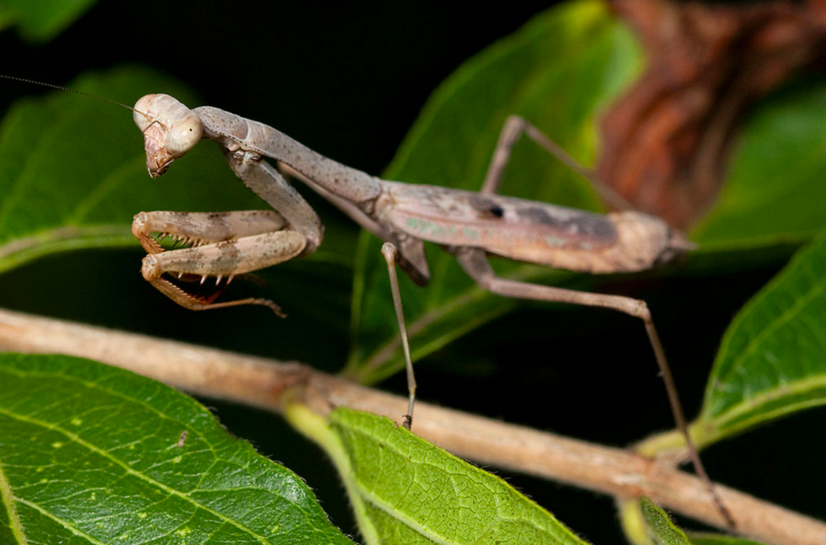 The State Insect of South Carolina: the Carolina Mantis