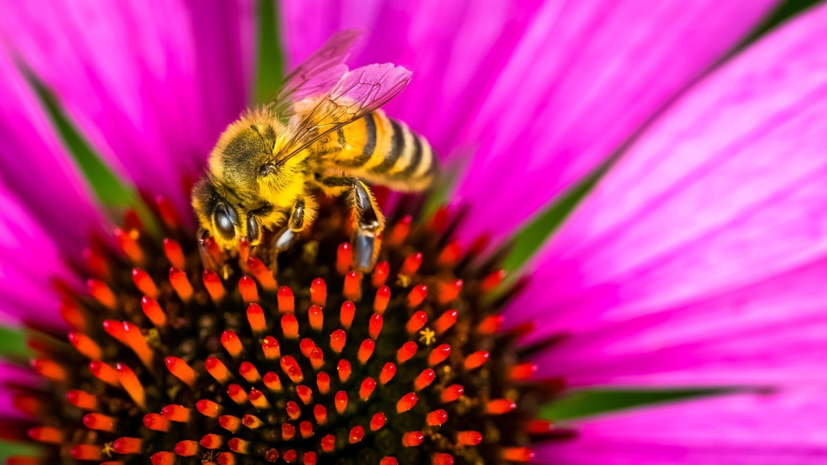 The State Insect of Georgia: the European Honey Bee