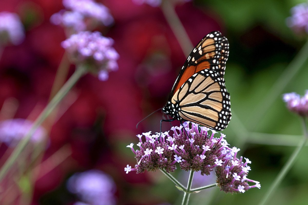 The State Butterfly of Vermont: The Monarch