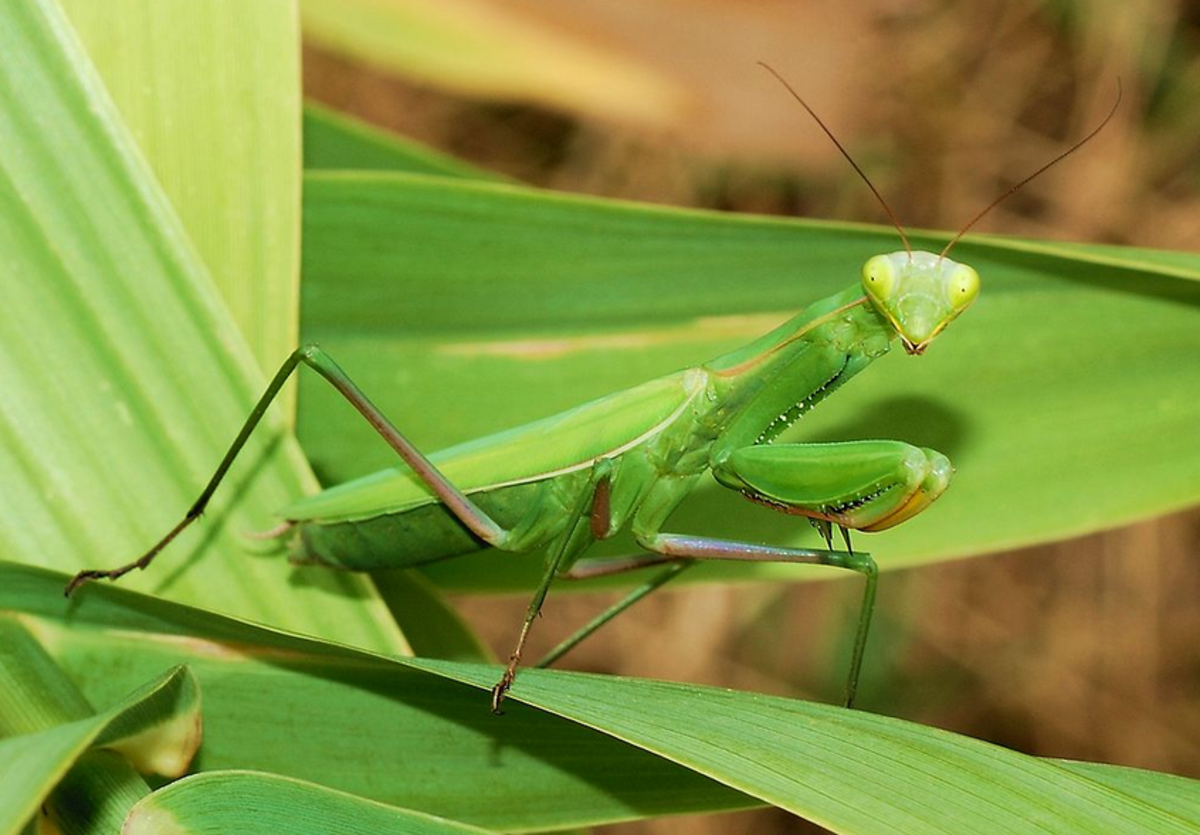 The State Insect of Connecticut: the European Mantis
