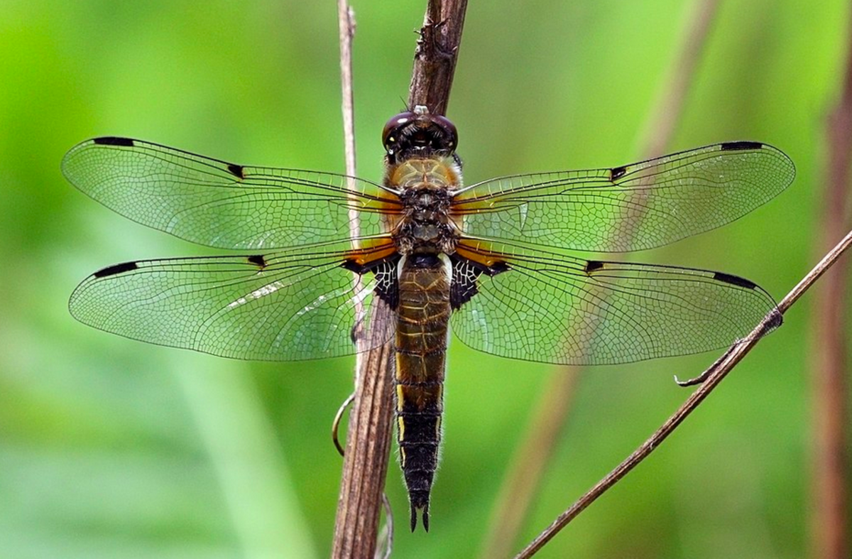 The State Insect of Alaska: the 4-Spotted Skimmer Dragonfly