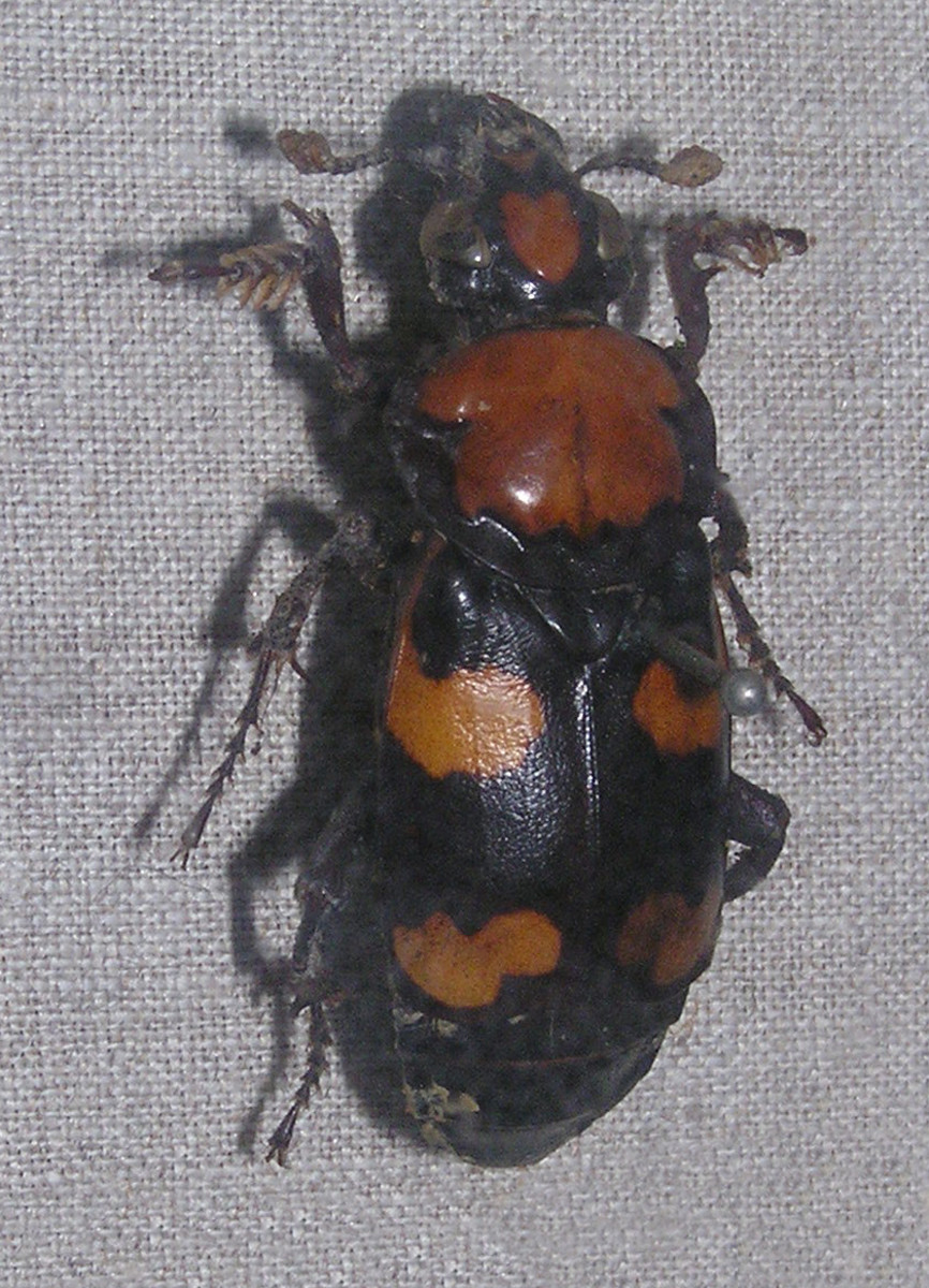 The State Insect of Rhode Island: the American Burying Beetle
