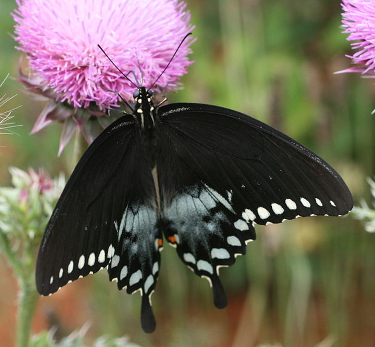 The State Insect of Mississippi: the Spicebush Swallowtail