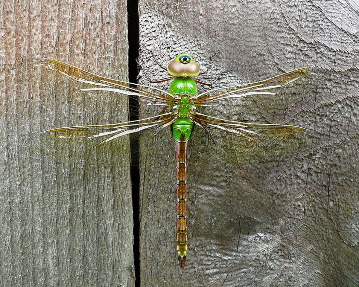The State Insect of Washington: The Green Darner Dragonfly