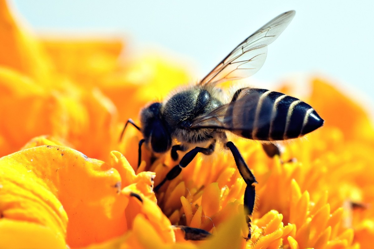 The State Insect of Utah: the European Honey Bee