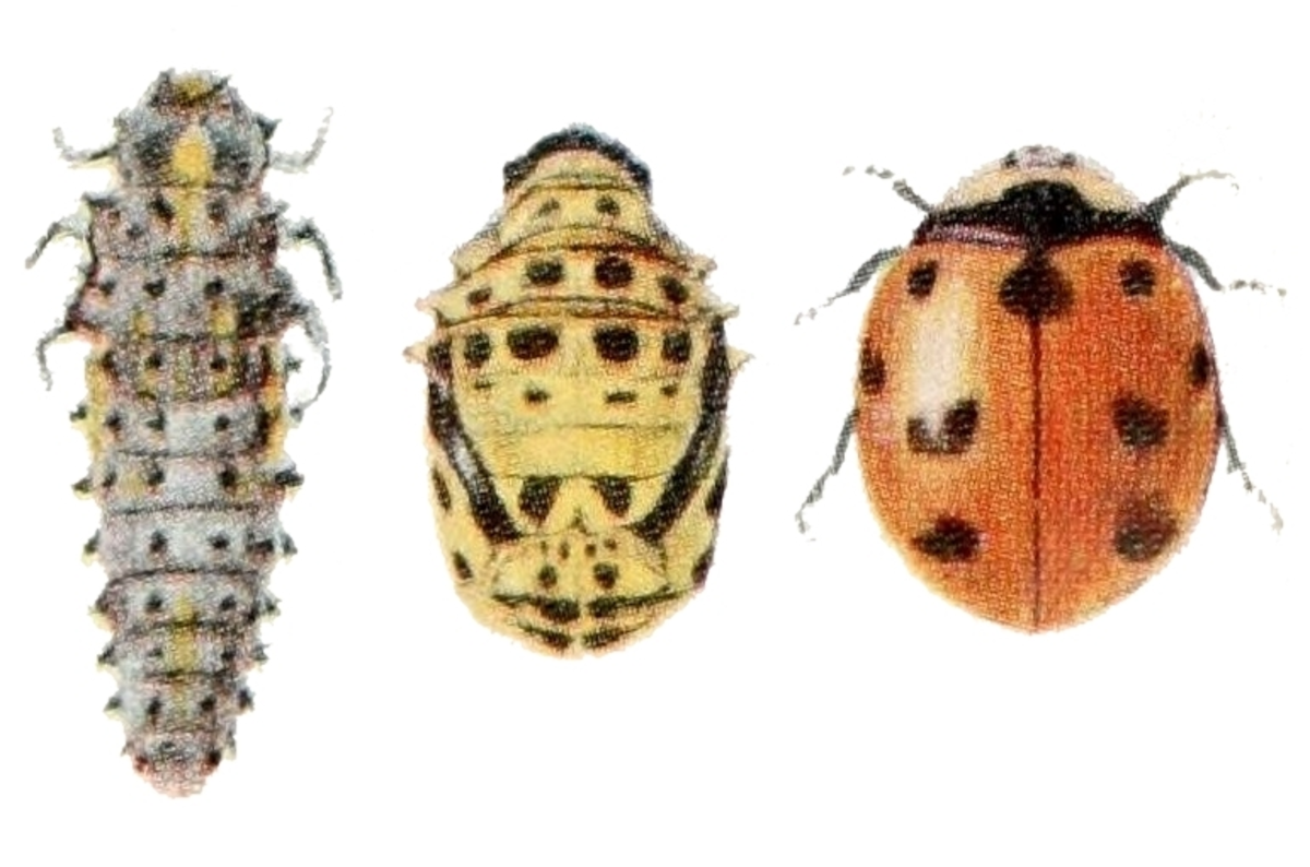 The State Insect of New York: the 9-Spotted Ladybug