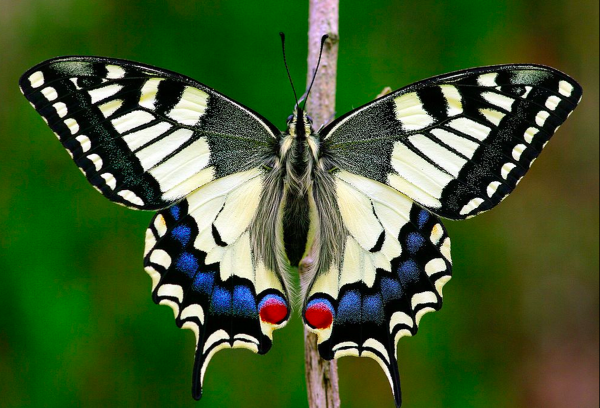 The State Insect of Oregon: the Oregon Swallowtail