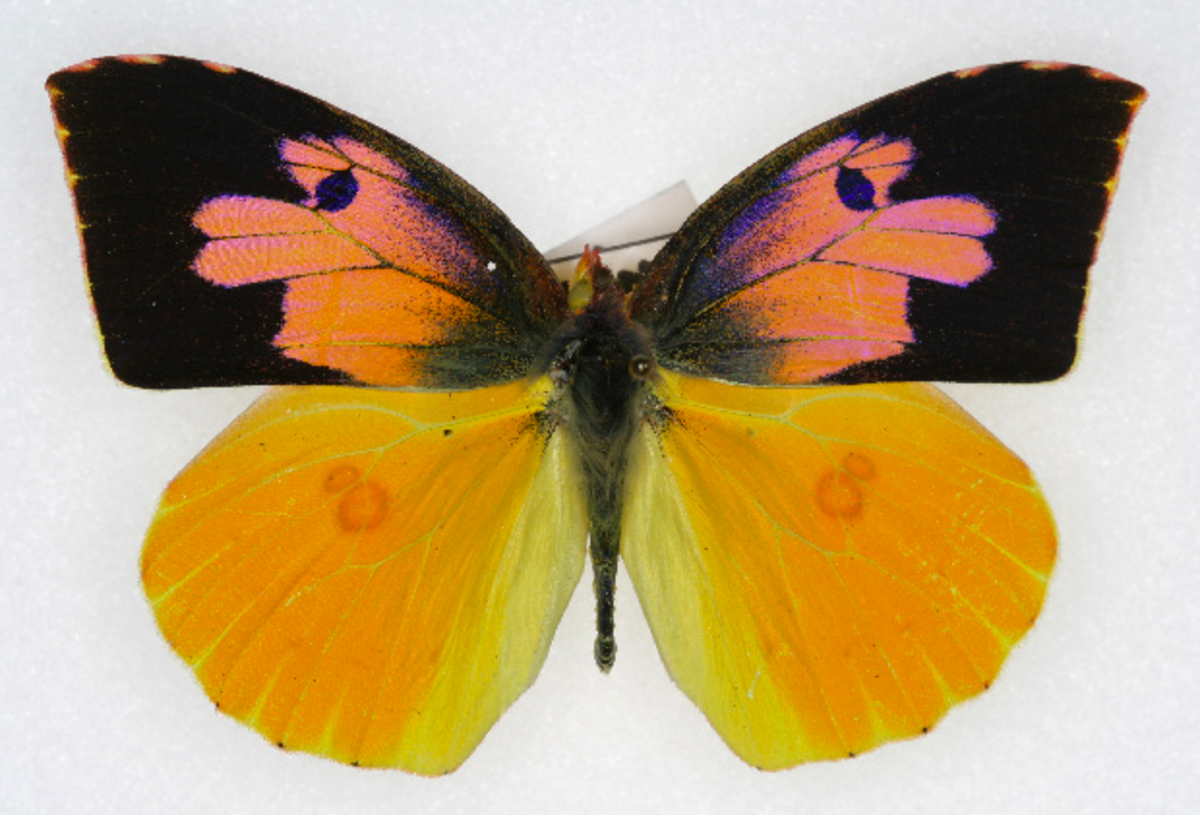 The State Insect of California: the California Dogface Butterfly