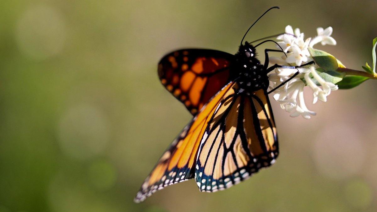 The State Insect of Minnesota: the Monarch Butterfly