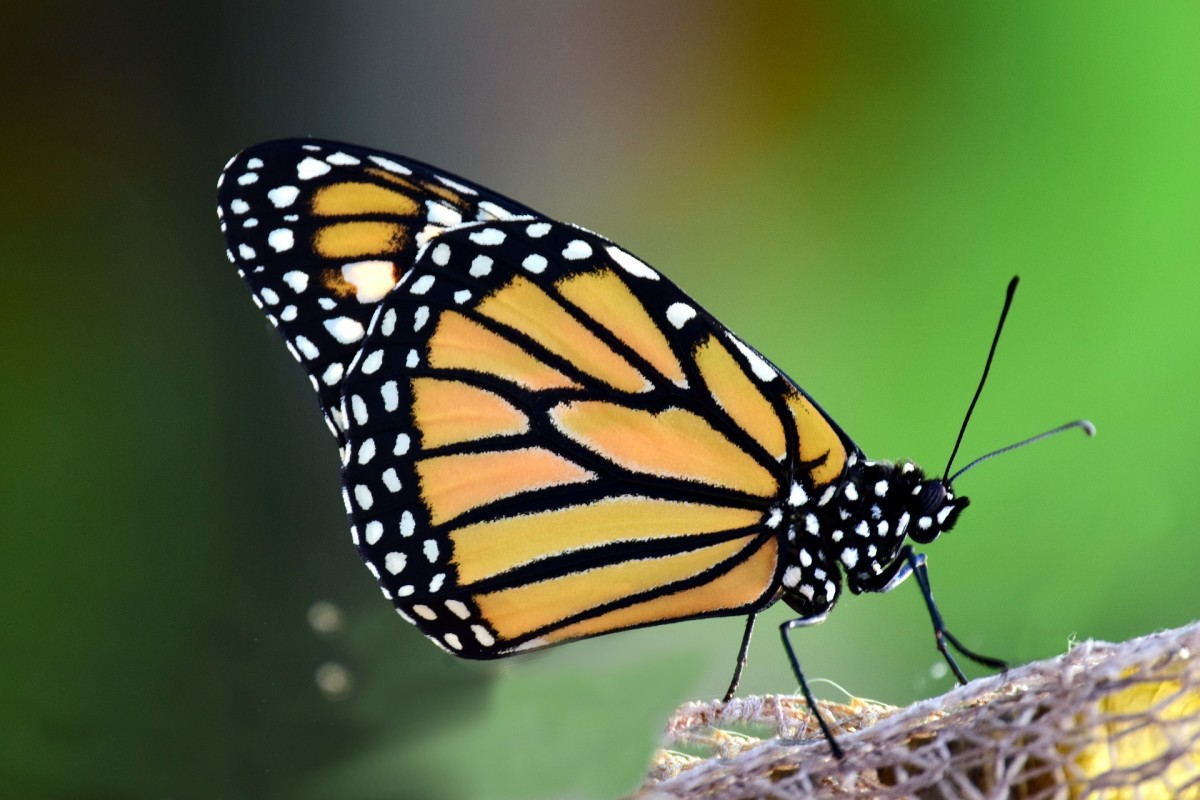 The State Insect of Illinois: the Monarch Butterfly