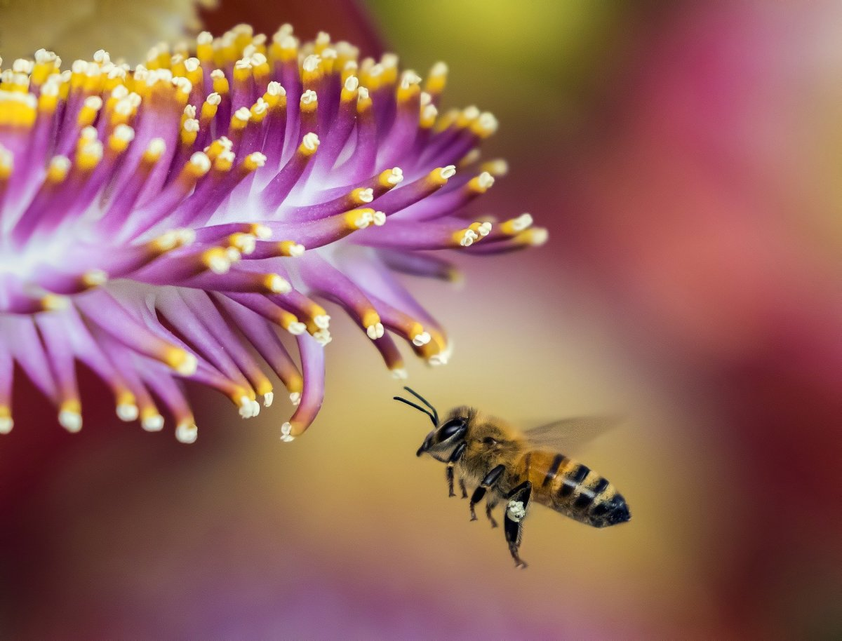 The State Insect of New Jersey: the European Honey Bee