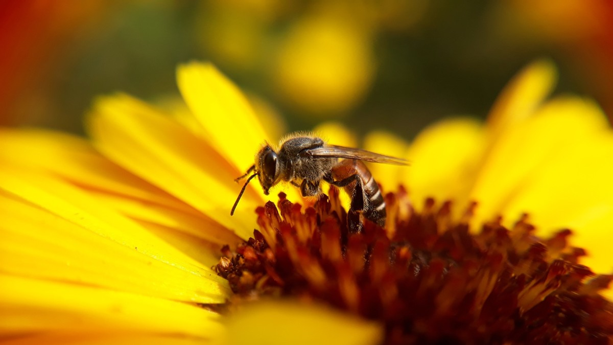 The State Insect of Louisiana: the European Honey Bee