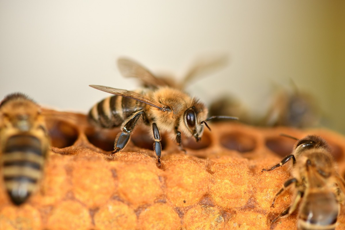 The State Insect of West Virginia: The European Honey Bee