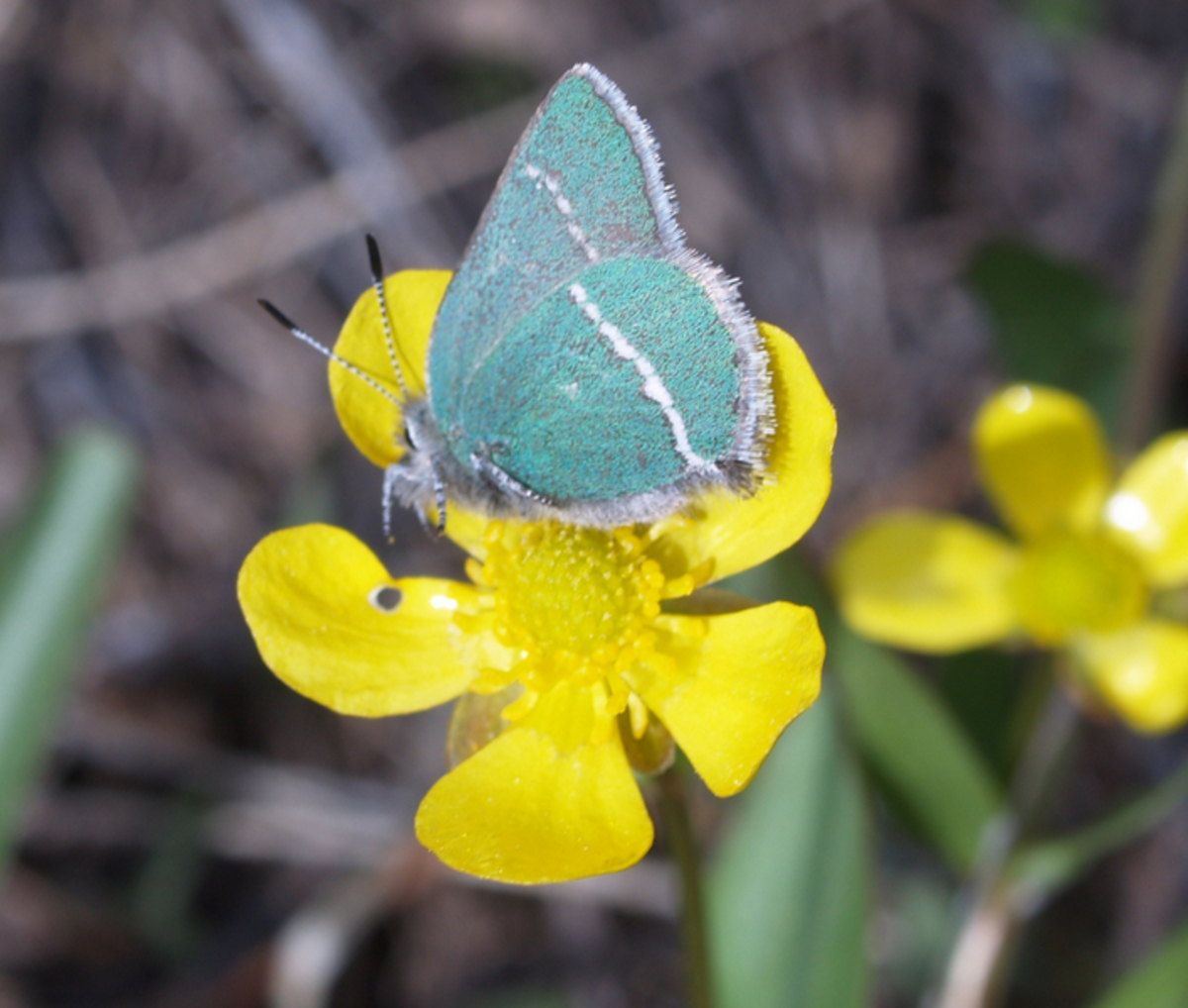 The State Butterfly of Wyoming: Sheridan's Green Hairstreak
