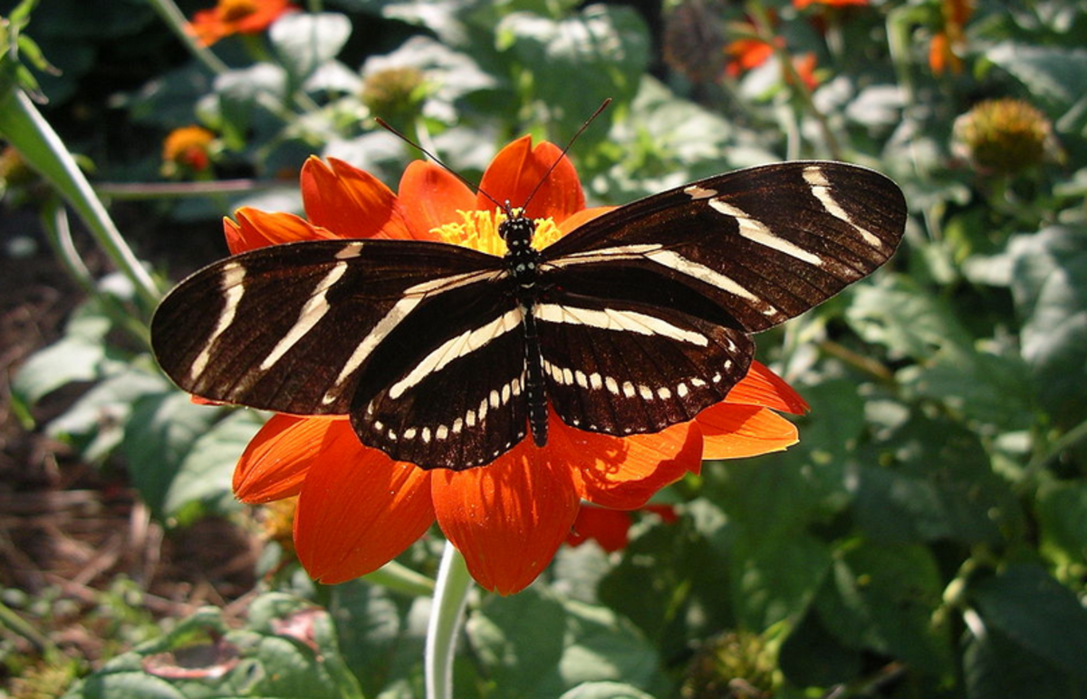 The State Insect of Florida: the Zebra Longwing