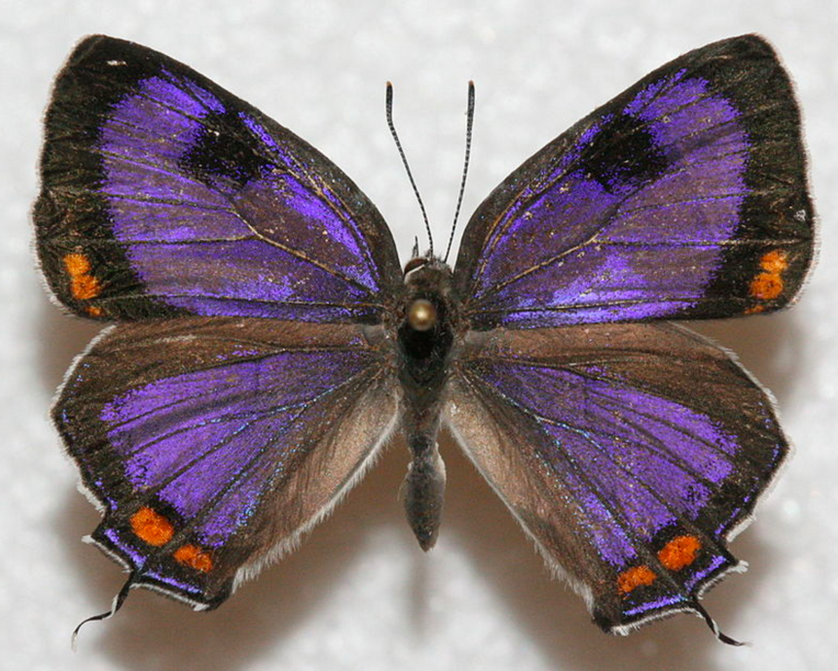 The State Insect of Colorado: the Colorado Hairstreak