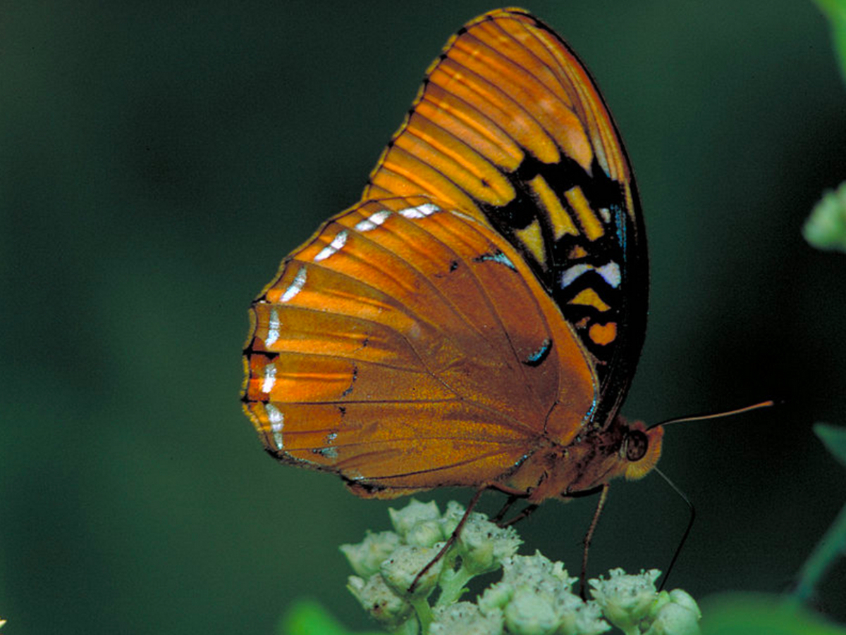 The State Butterfly of Arkansas: the Diana Fritillary