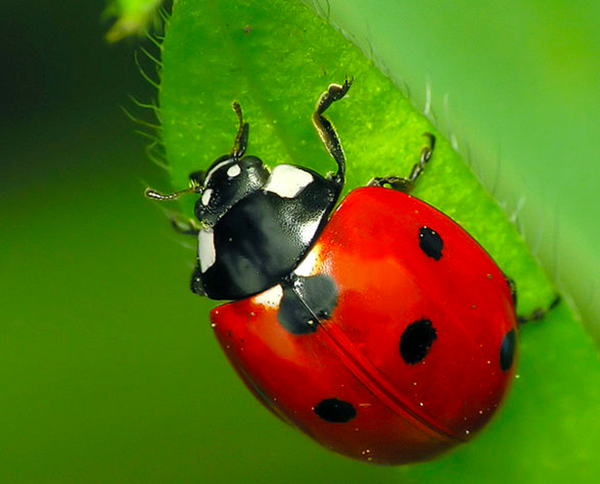 The State Insect of Delaware: the 7-Spotted Ladybug