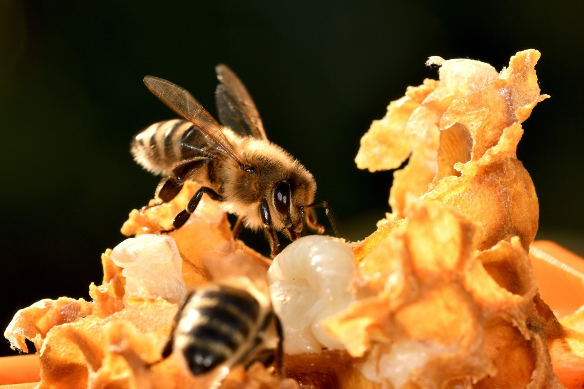 The State Insect of Arkansas: the European Honeybee