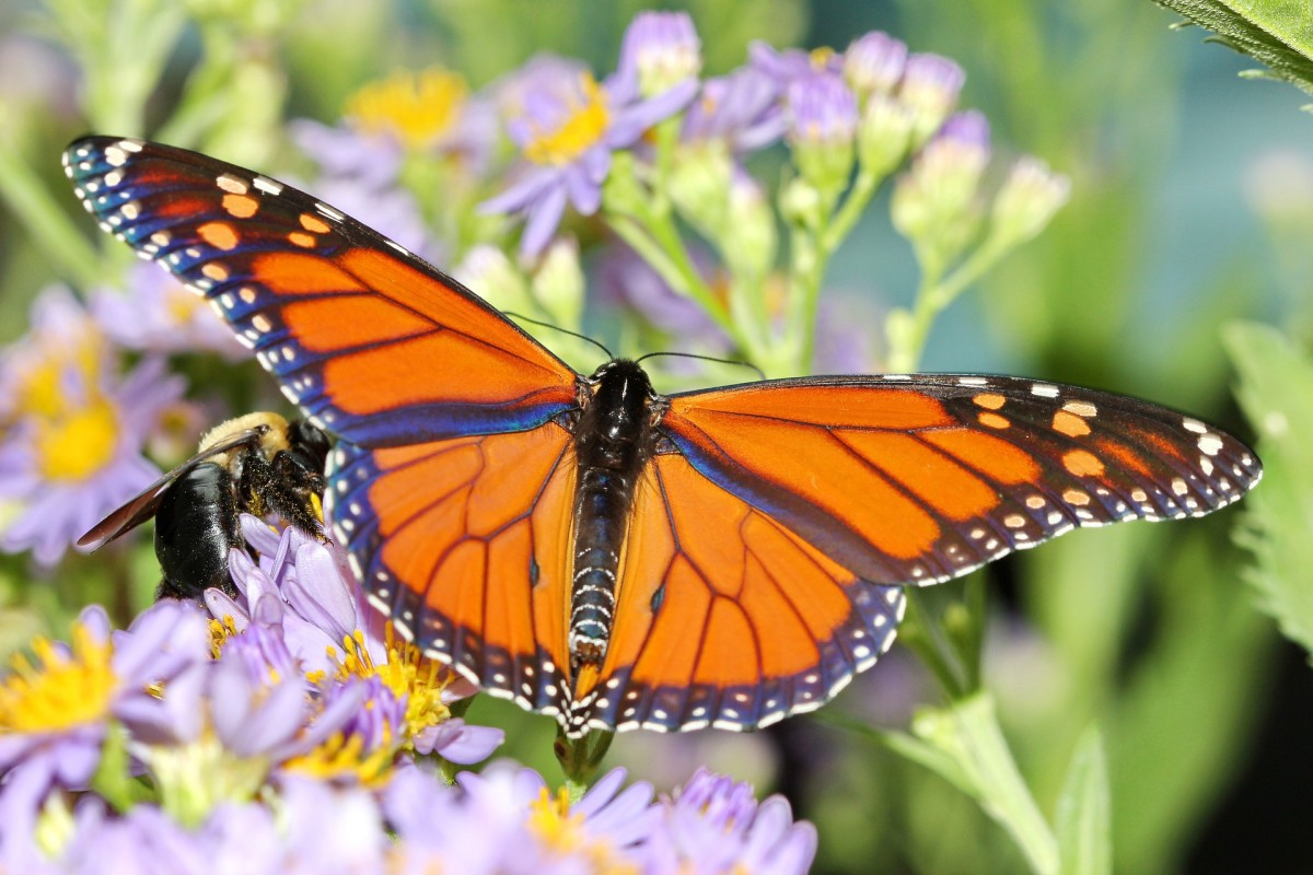 The State Insect of Alabama: the Monarch Butterfly
