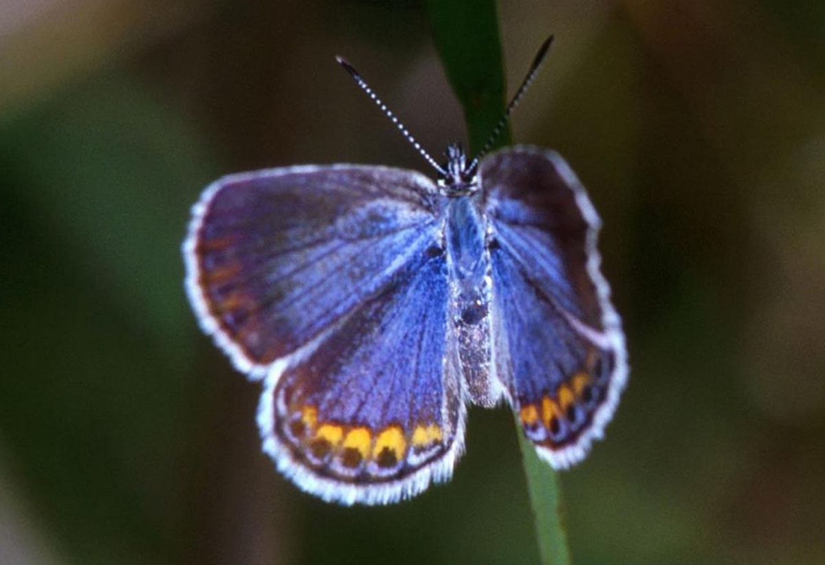The State Butterfly of New Hampshire: the Karner Blue